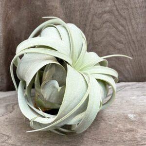 Tillandsia xerographica, vuxen planta